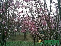 四川省成都市温江区300亩果园转让
