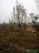 北京市市辖区顺义区后沙峪地区160亩有林地出租