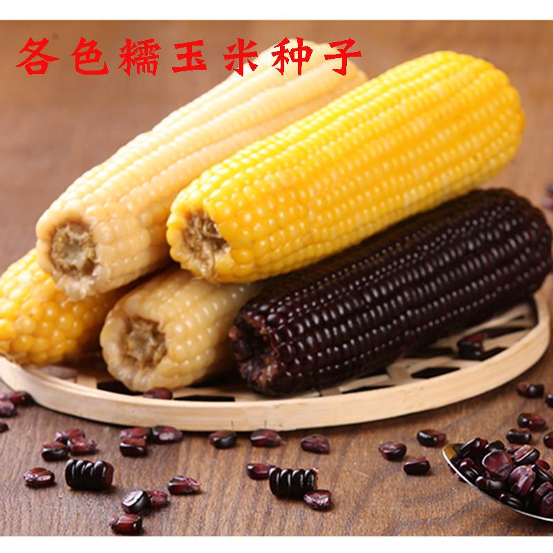 粘糯玉米种子 黄白黑彩色鲜食 甜糯玉米籽春夏播四季蔬菜非转基因