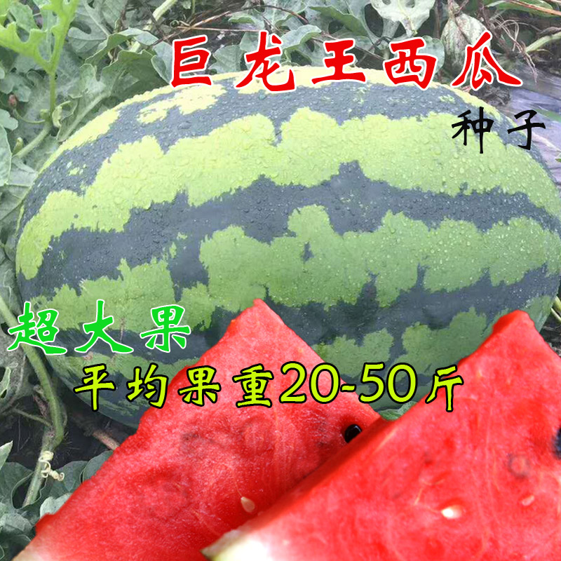 巨型西瓜种子 早熟高产 特大懒汉西瓜种籽 高糖超甜春播蔬菜水果