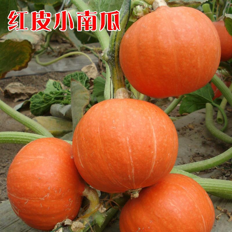 红蜜南瓜种子 食用面甜 红皮小南瓜籽 板栗风味 春播四季蔬菜瓜果