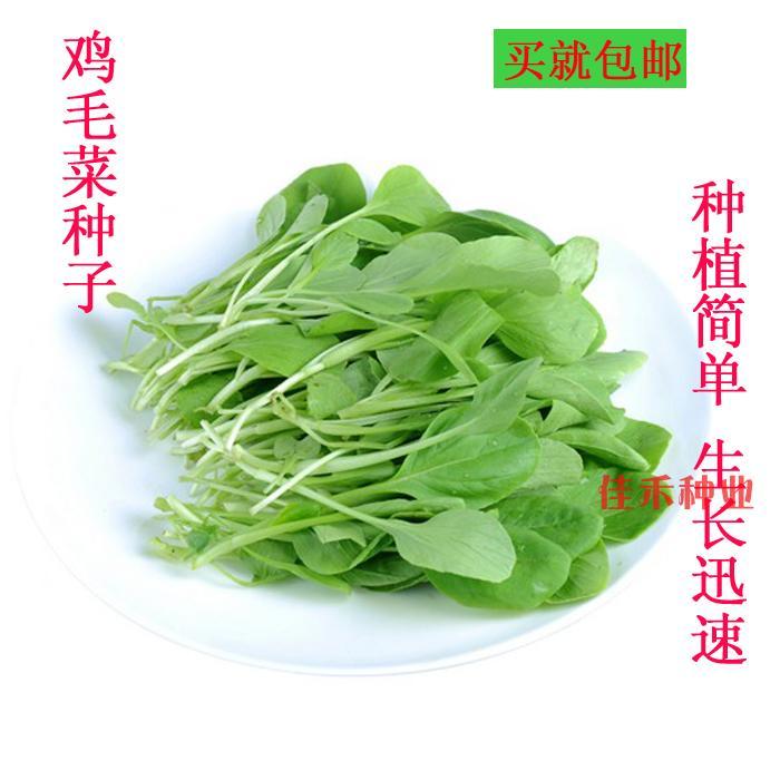 鸡毛菜种子 小白菜 青菜 易种 阳台盆栽种菜 春播四季播蔬菜农家