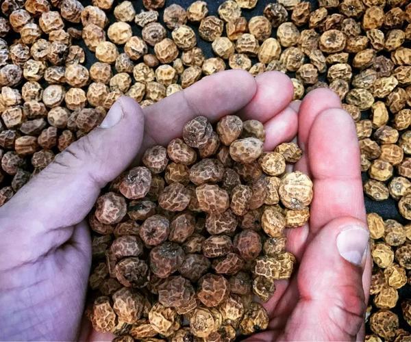 解决我国农业问题的万能钥匙---油莎豆